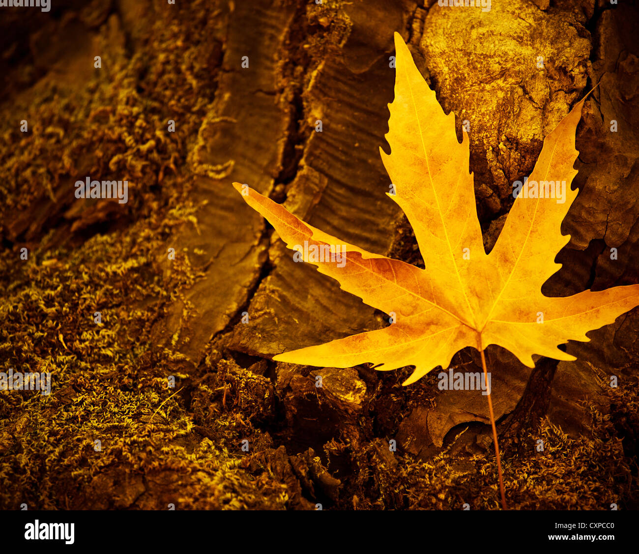 Picture of dry maple leaf on old dark tree trunk, autumn leaves background, yellow autumnal leaves on stump in woods - Stock Image