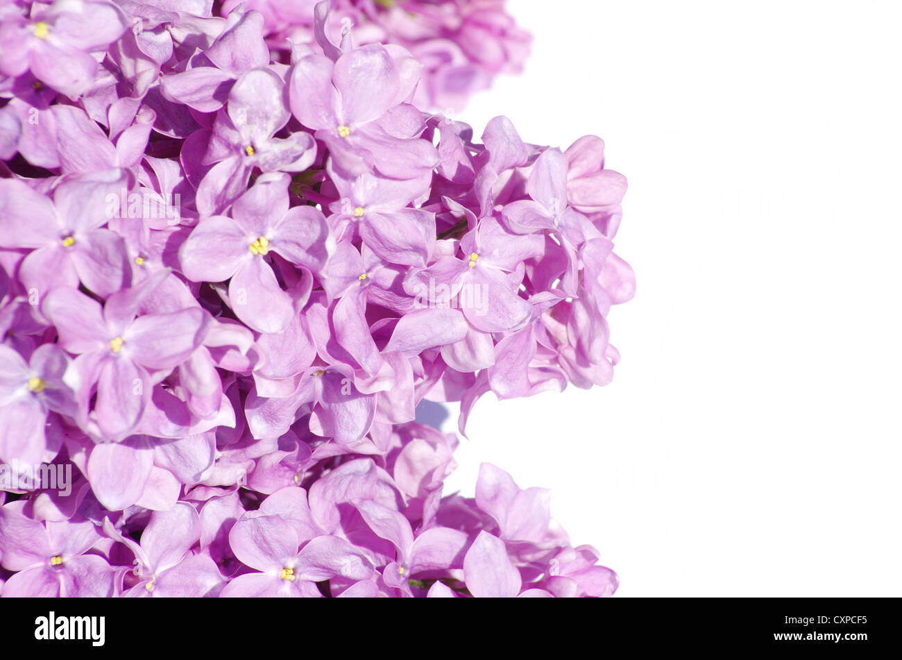 lilac flower isolated on white background - Stock Image