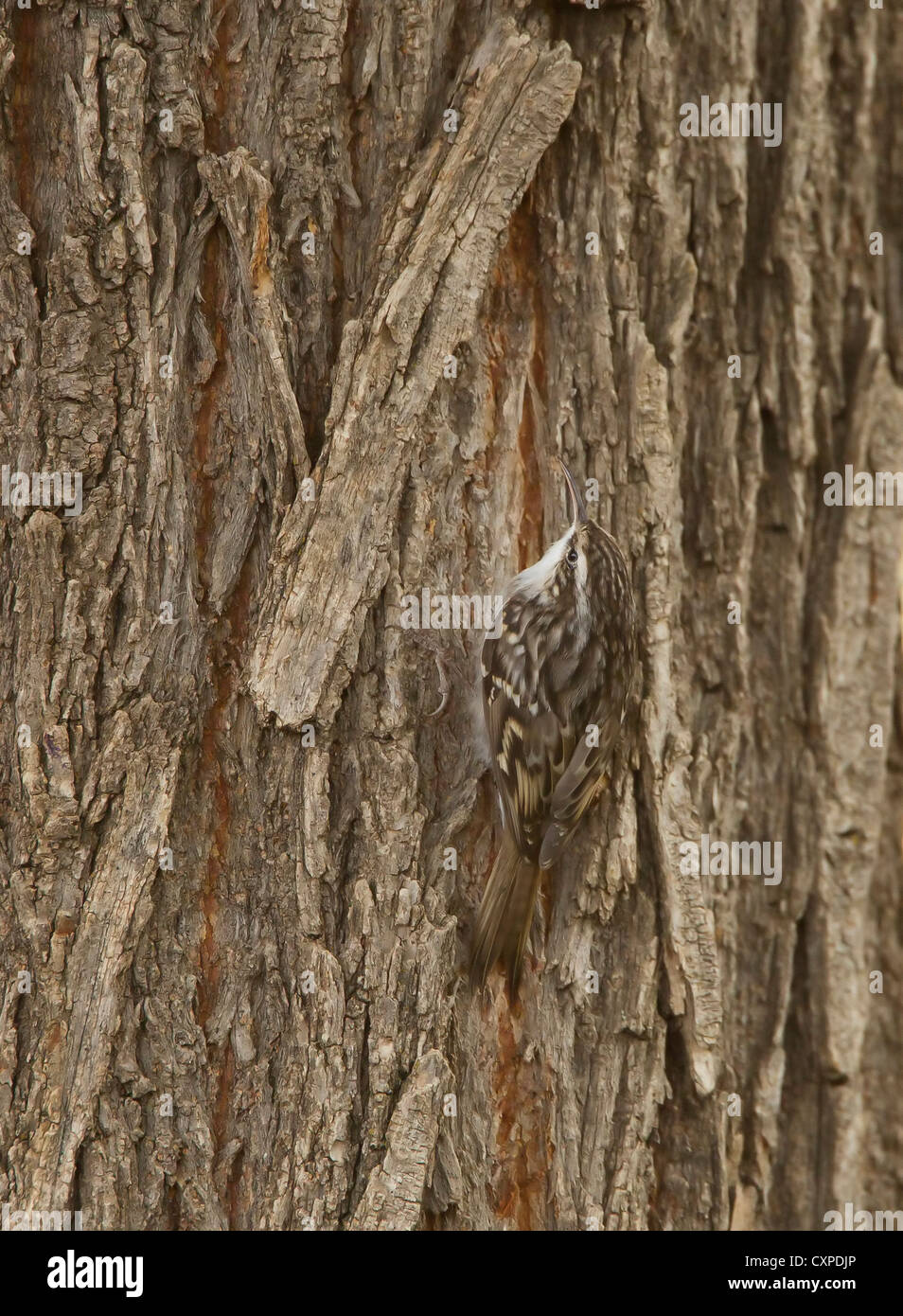 Short toed Treeceeper Certhia harterti Southern Turkey October well camouflaged on tree while searching for food - Stock Image