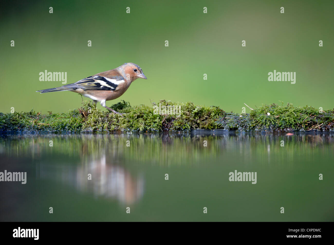 Common chaffinch (Fringilla coelebs) - Stock Image