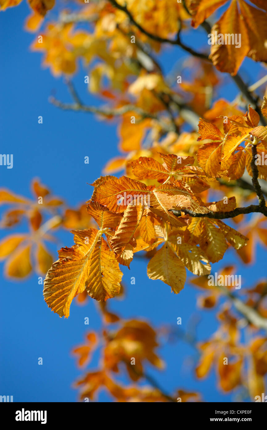 autumn leaves against a blue sky england uk - Stock Image