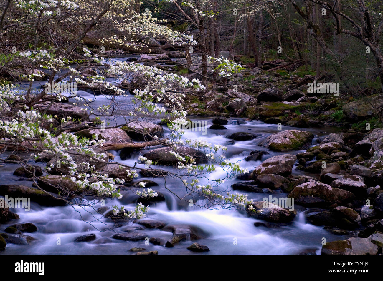 North America, USA, Tennessee, Smoky Mountain National Park. Spring in the smokies with Dogwood tree over rapids - Stock Image