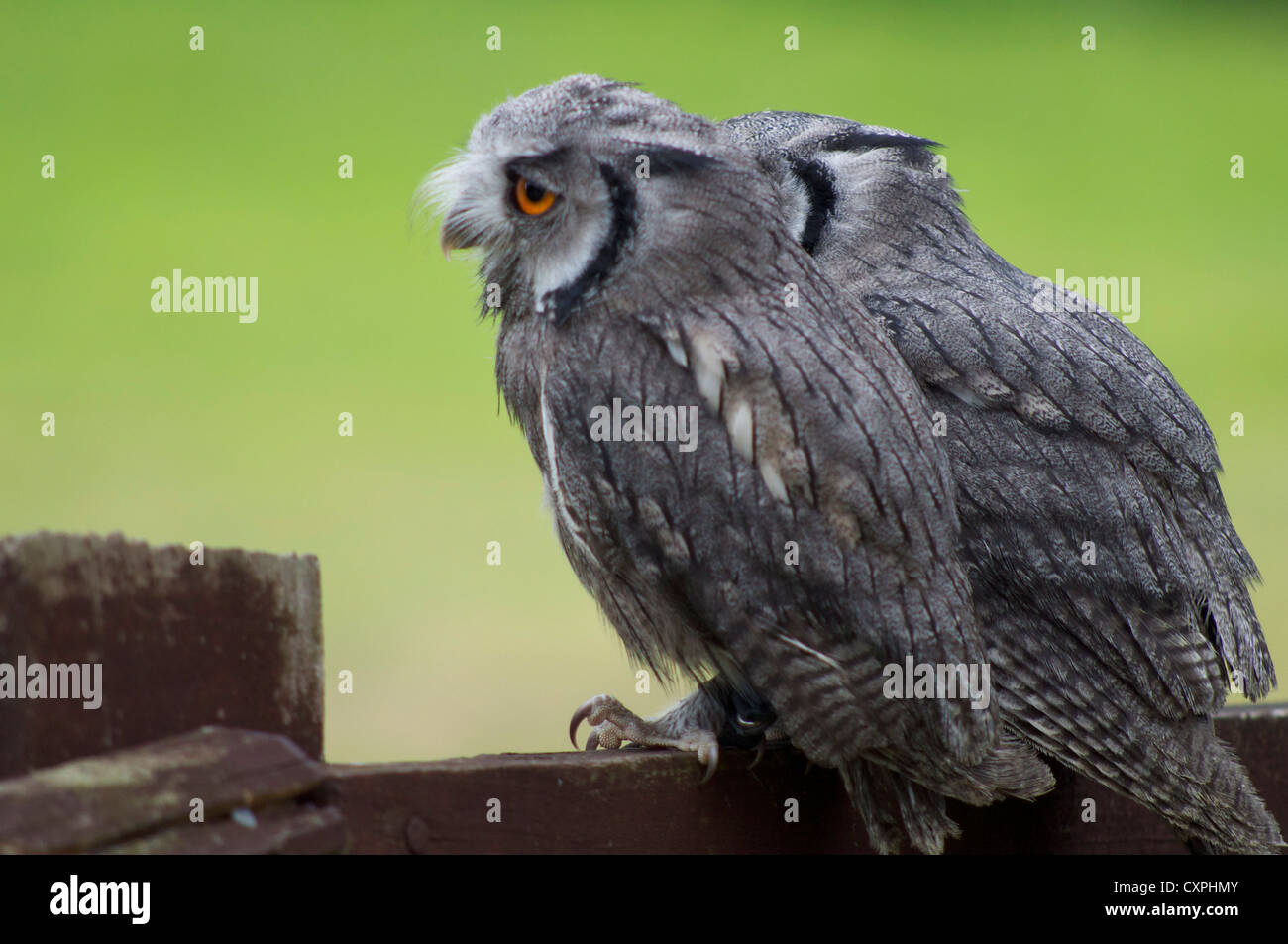 Scops owls sitting on fence in England Stock Photo
