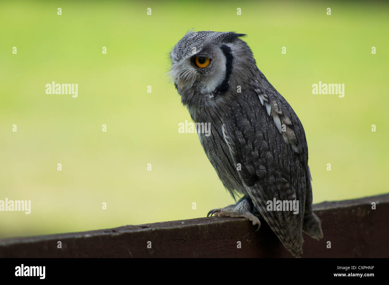 Scops owl sitting in fence in England Stock Photo