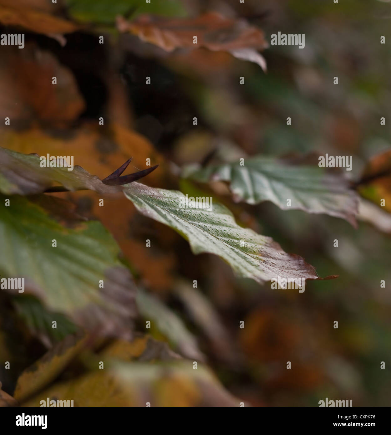 Winter tints and colours of deciduous, native, woodland Beech (Fagus sylvatica) hedging. United Kingdom. November. - Stock Image