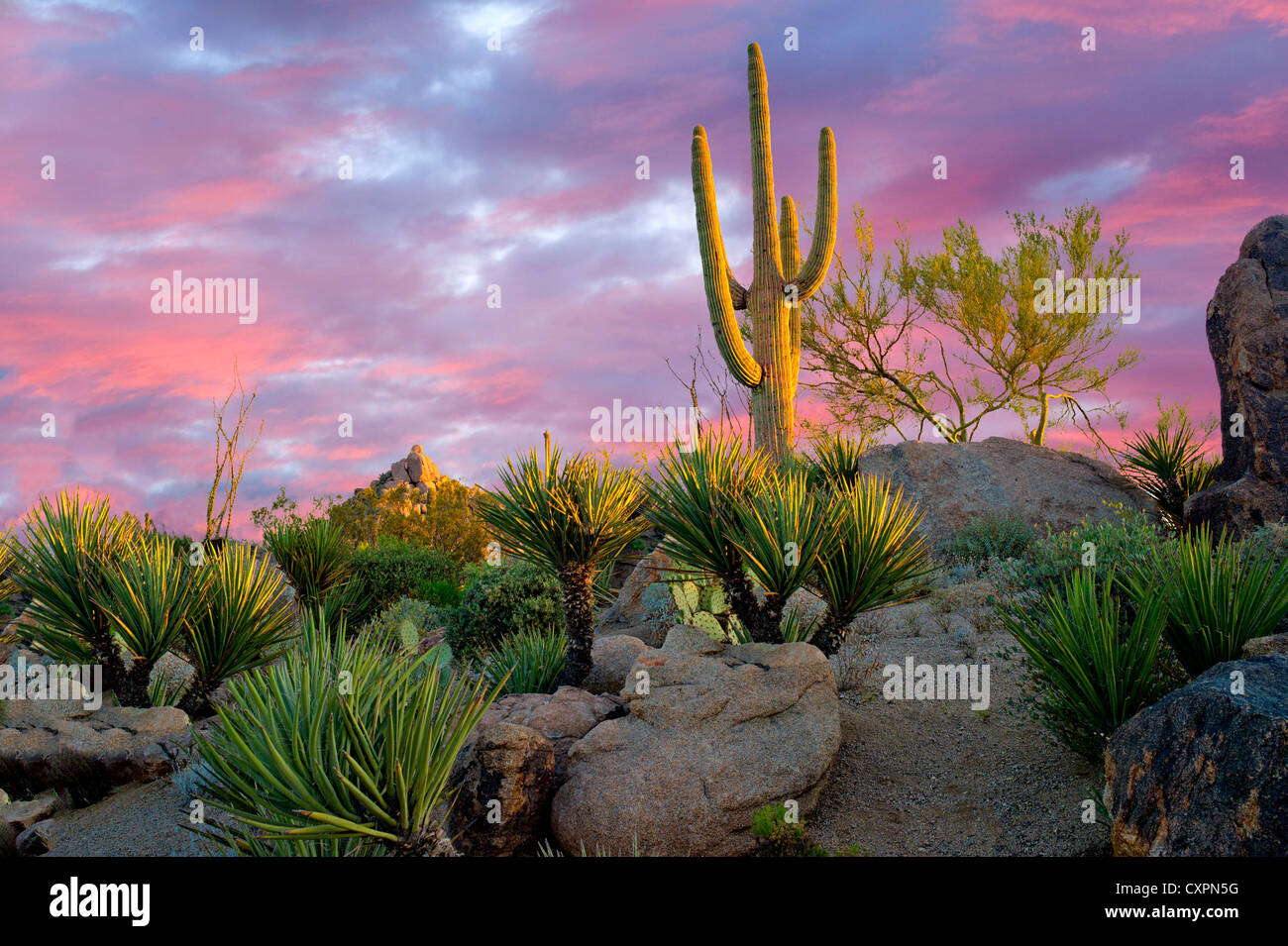 Cactus garden with saguaro cactus at sunrise. Sonoran Desert, Arizona - Stock Image