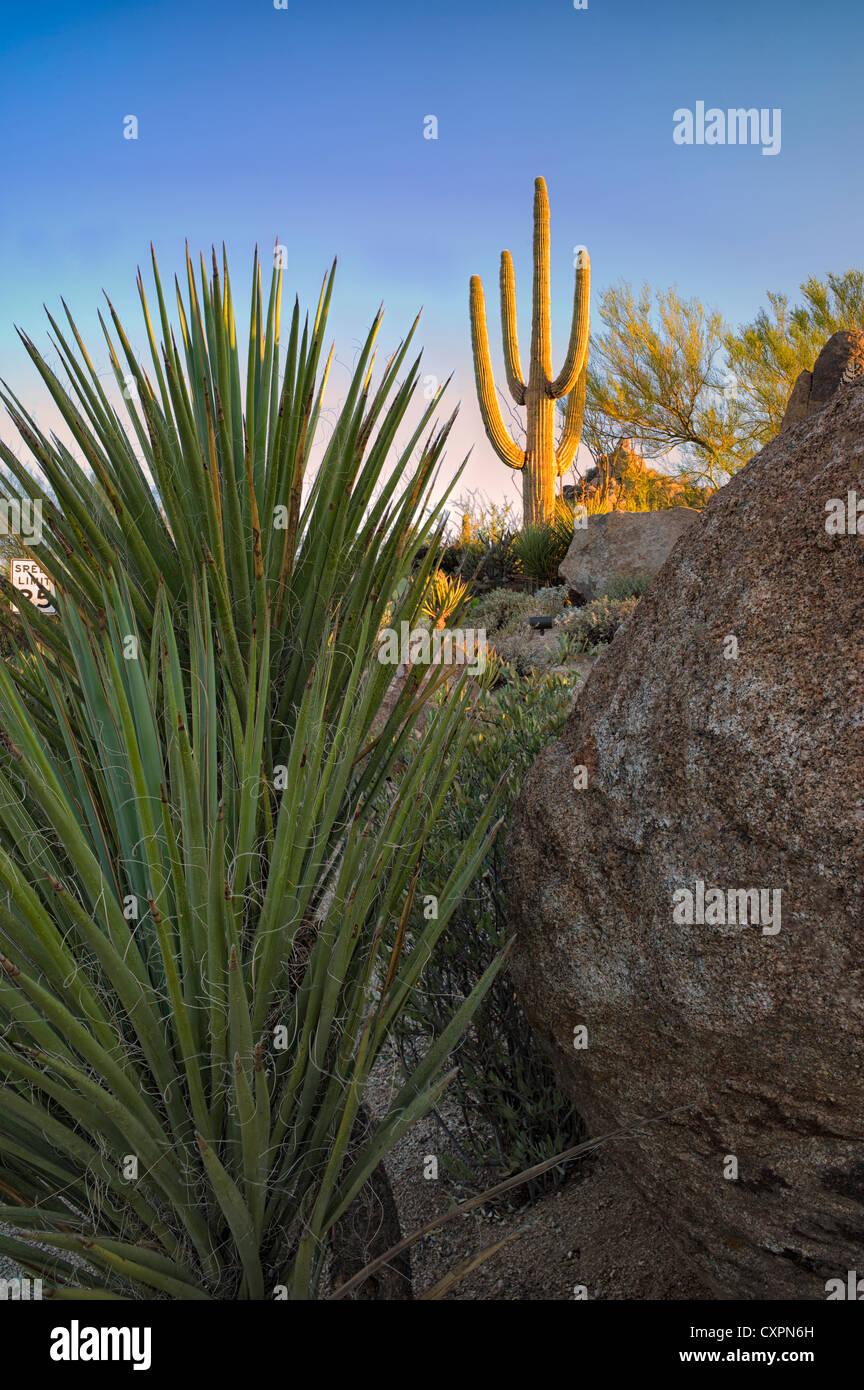 Cactus garden with desert saguaro cactus at sunrise. Sonoran Desert, Arizona - Stock Image