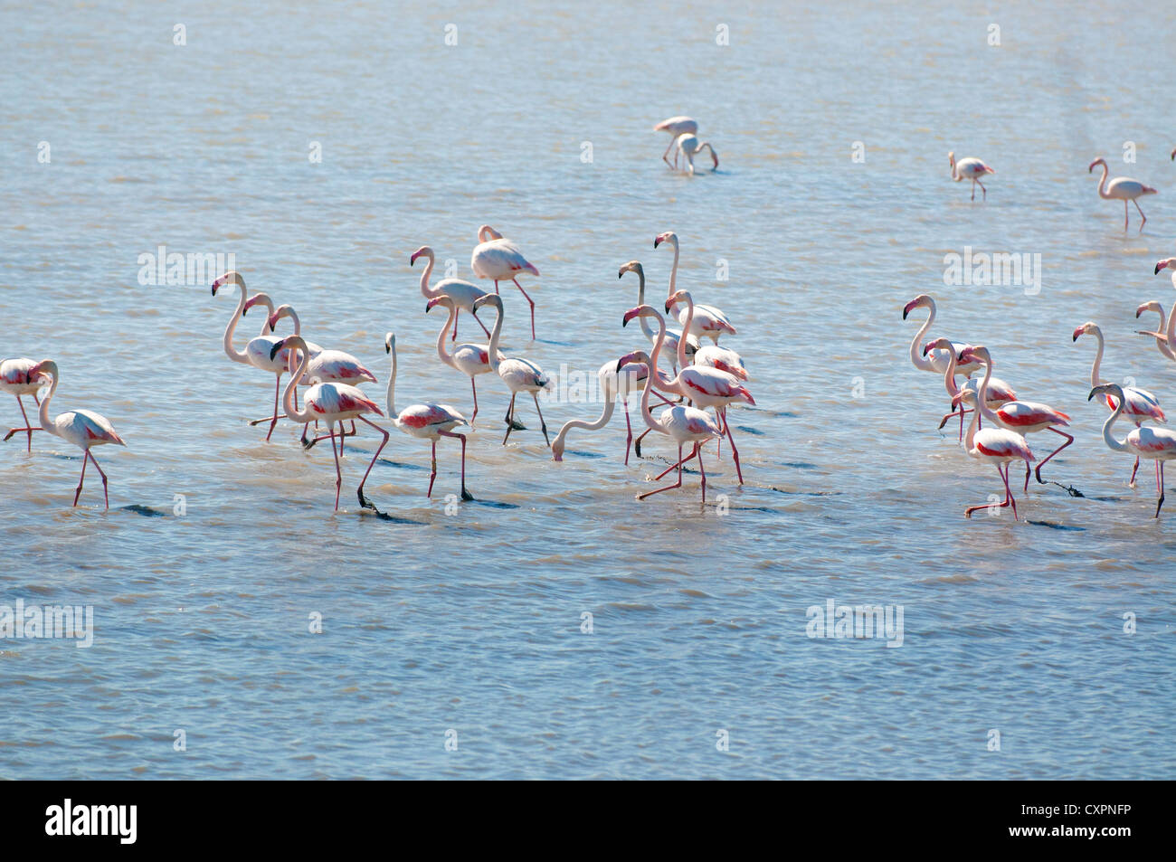Migratory Pink Flamingoes feeding in The Étang de Vaccarès.-The largest of the salt water lakes in the - Stock Image