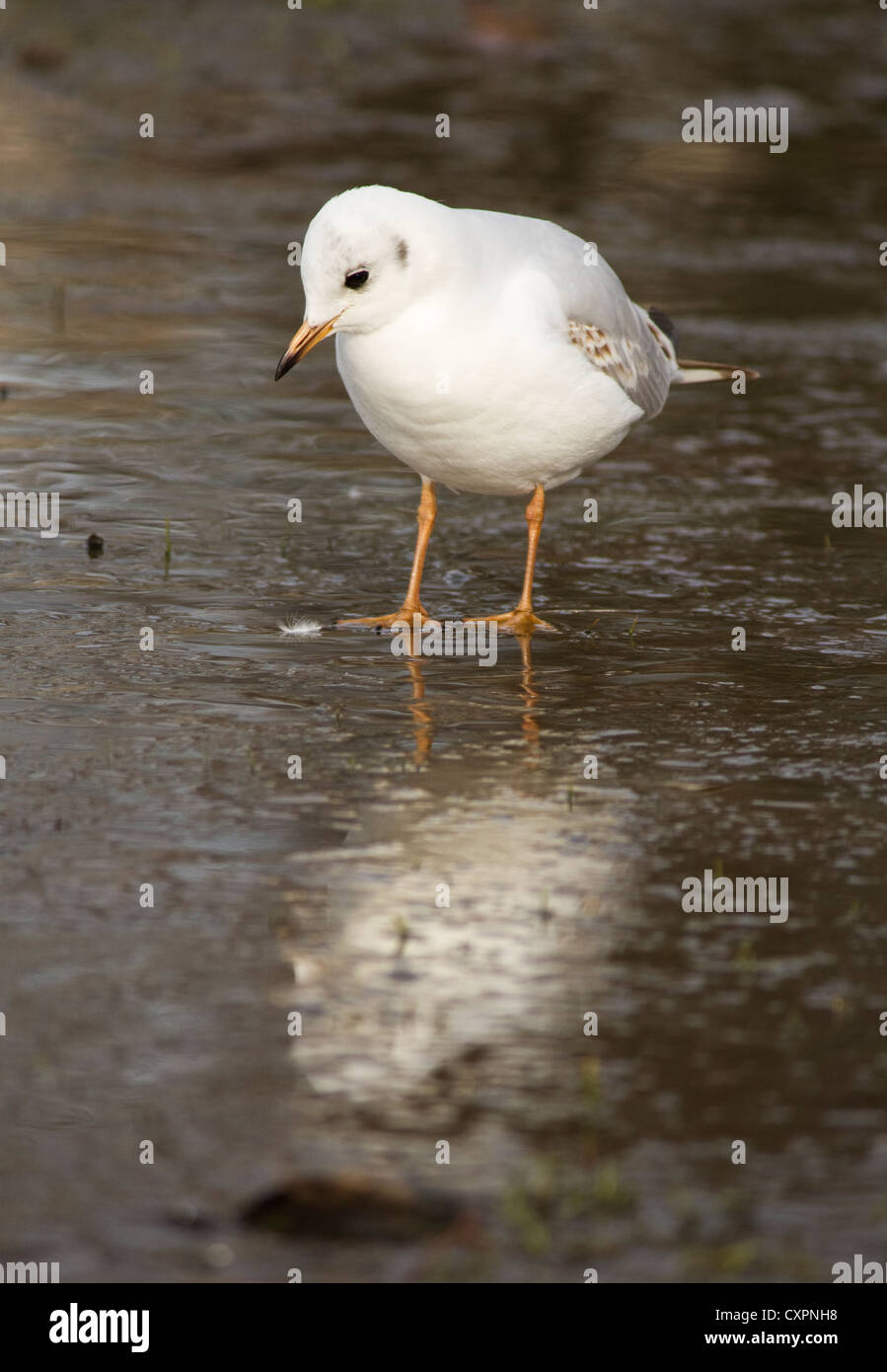 A Common Gull (Larus canus) in Hyde Park, London - Stock Image