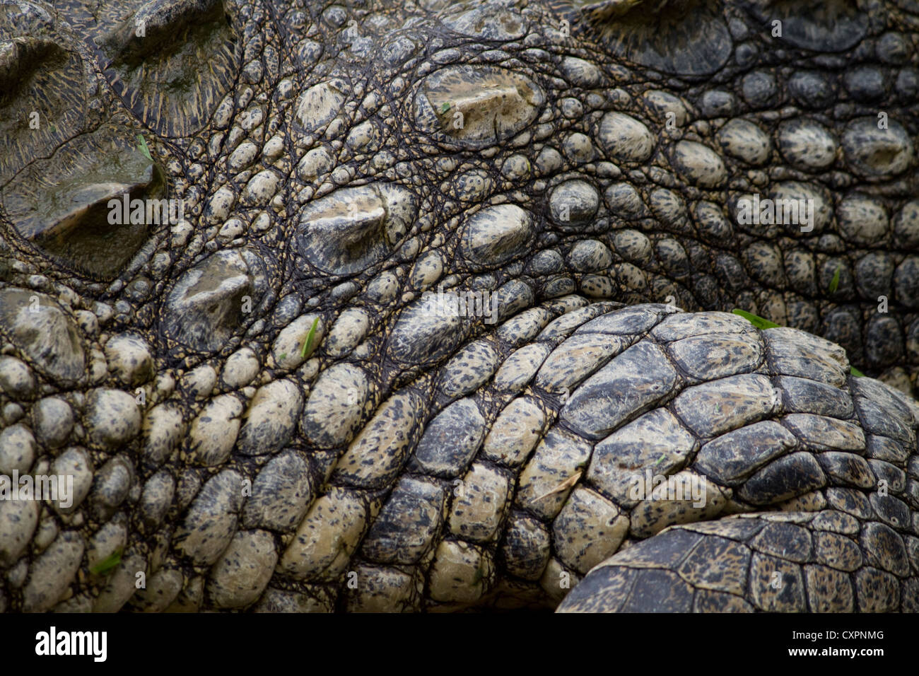 Close up of a Nile Crocodile at the Greater St Lucia wetland park - Stock Image