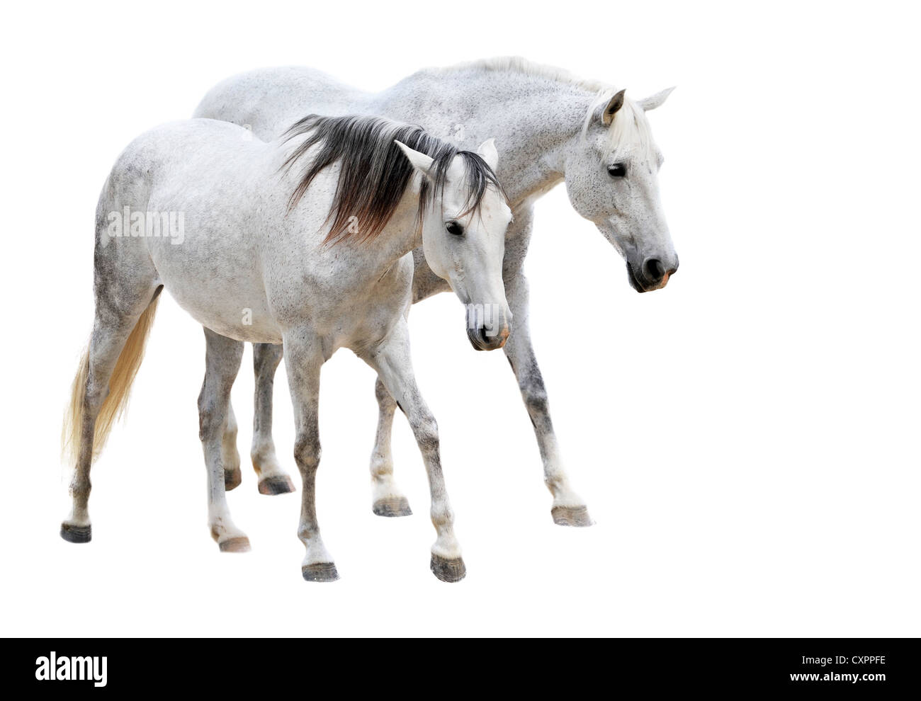 two camargues horses in front of white background Stock Photo