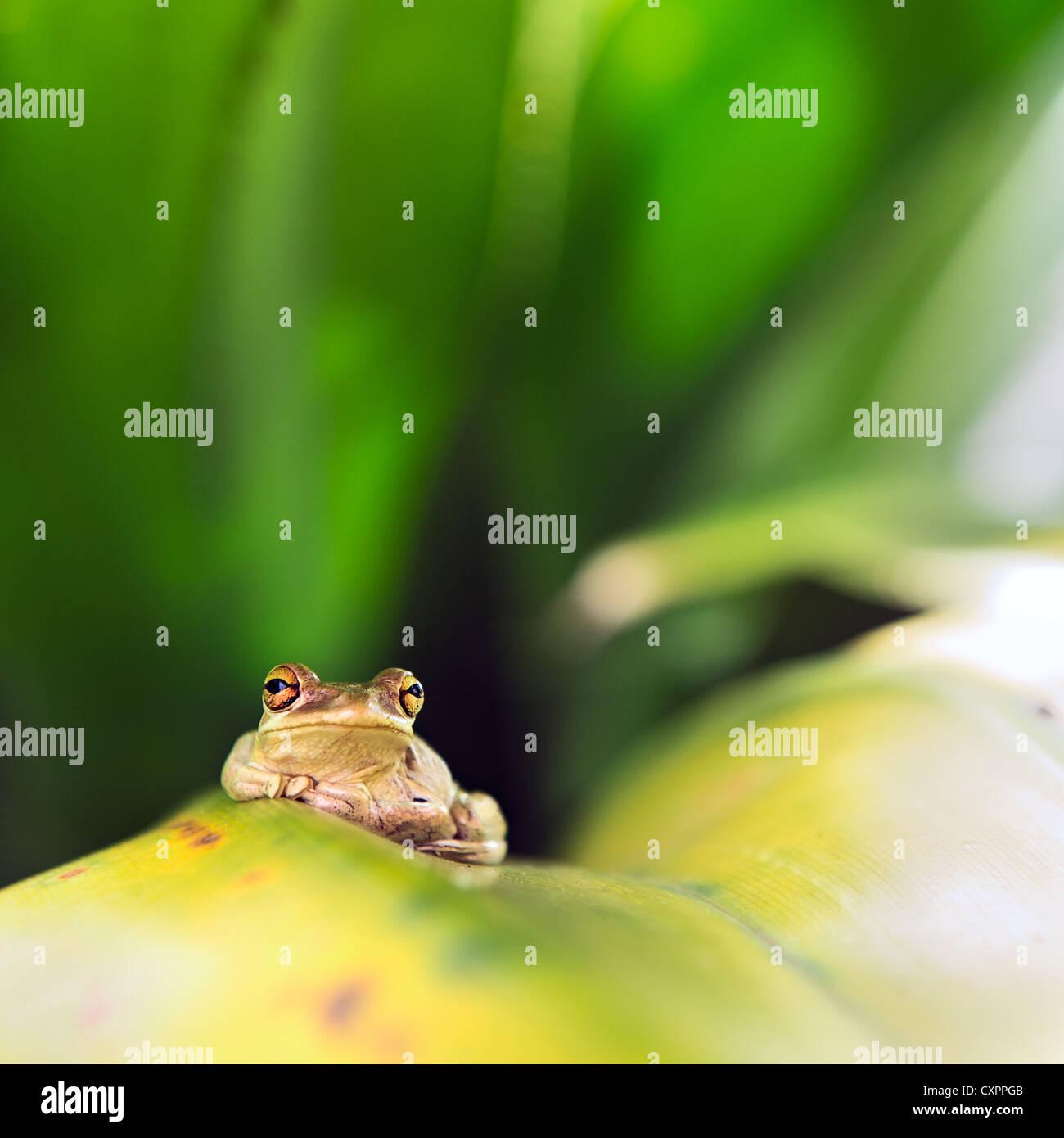 Cuban Tree Frog (Osteopilus Septentrionalis) on a leaf - Stock Image