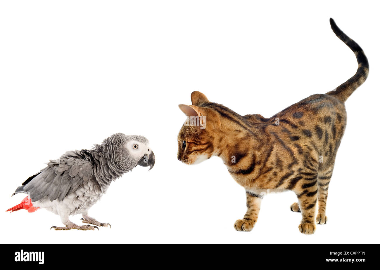scaring African Grey Parrotand bengal cat in front of white background Stock Photo