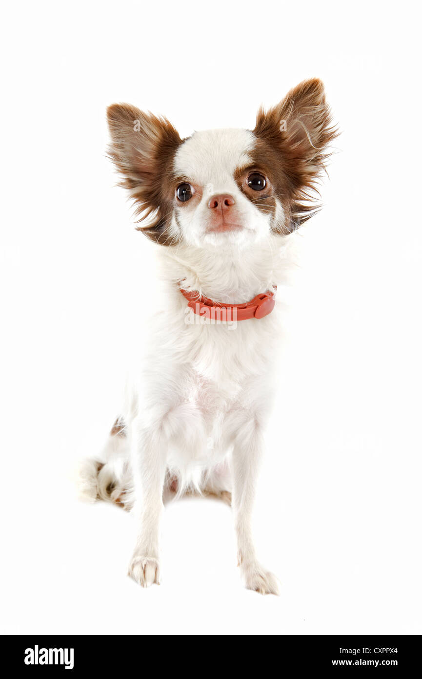 portrait of a cute purebred chihuahua with preventive collar in front of white background - Stock Image