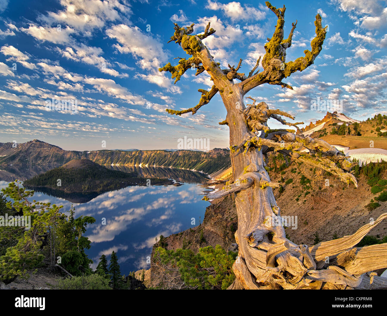 Dead Whitebark Pine tree with puffy cloud reflection, Crater Lake and Wizard Island. Crater Lake National Park, - Stock Image