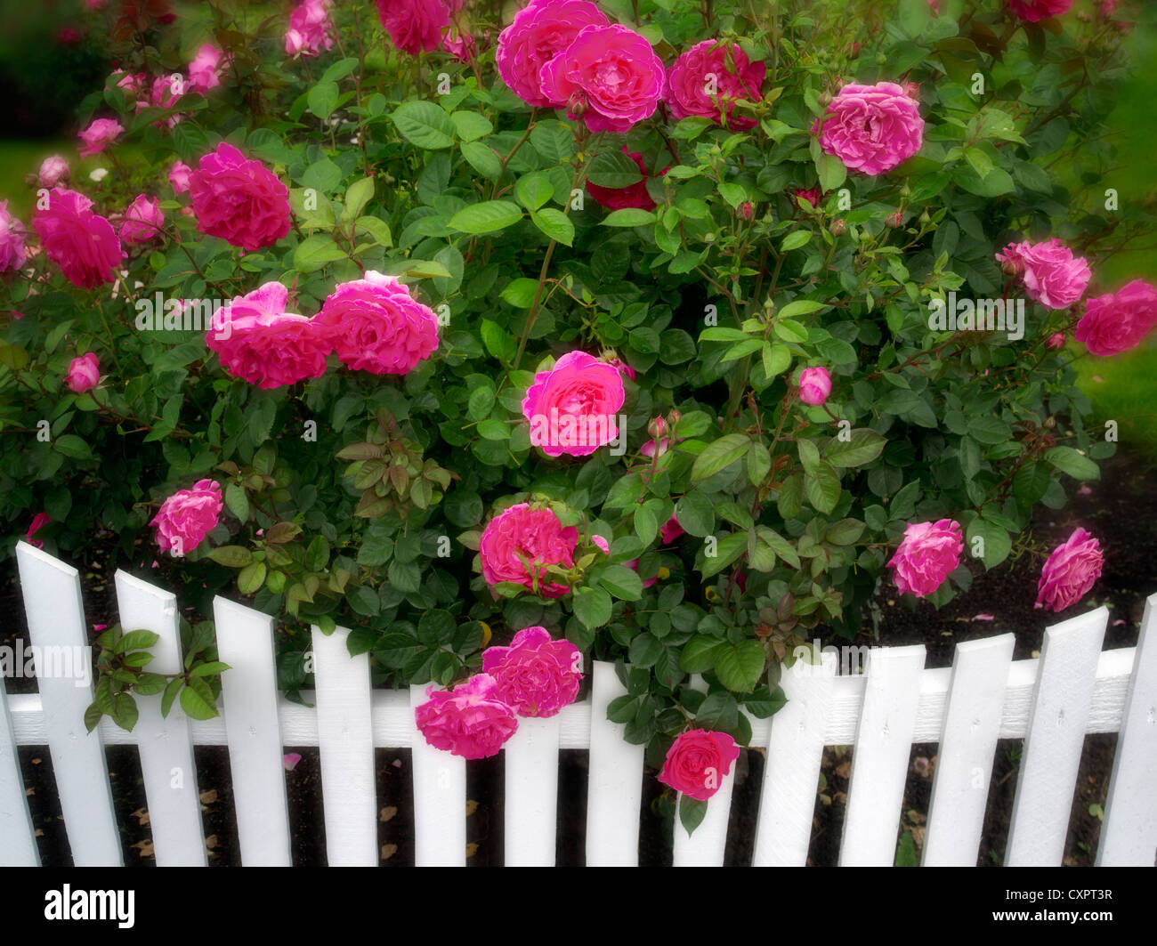 Roses growing near white picket fence. Heirloom Gardens. St. Paul, Oregon - Stock Image