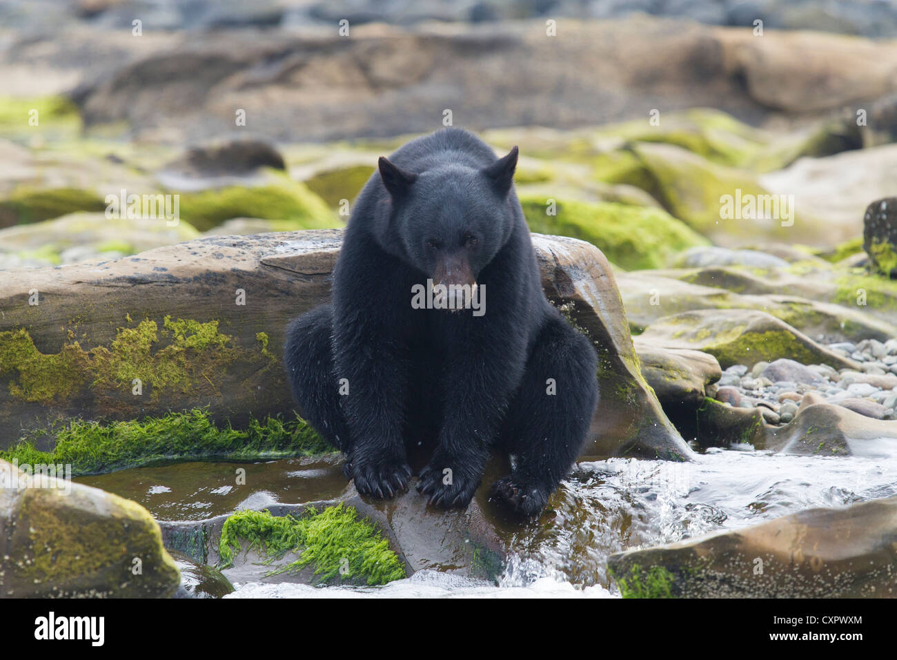 black bear sat on a rock yawning at the top of a waterfall whilst fishing vancouver island canada Stock Photo
