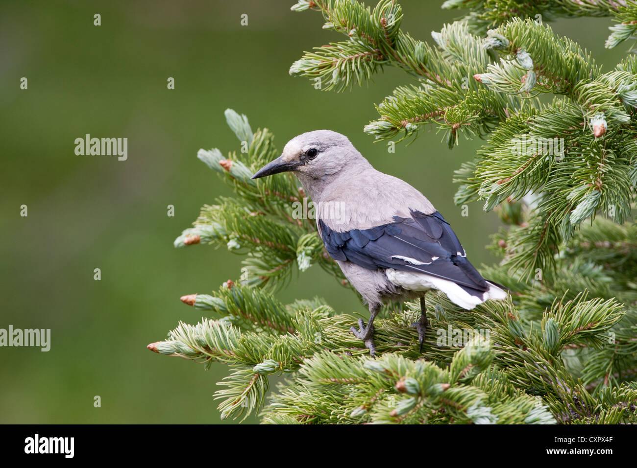 Clark's Nutcracker in Spruce Tree - Stock Image