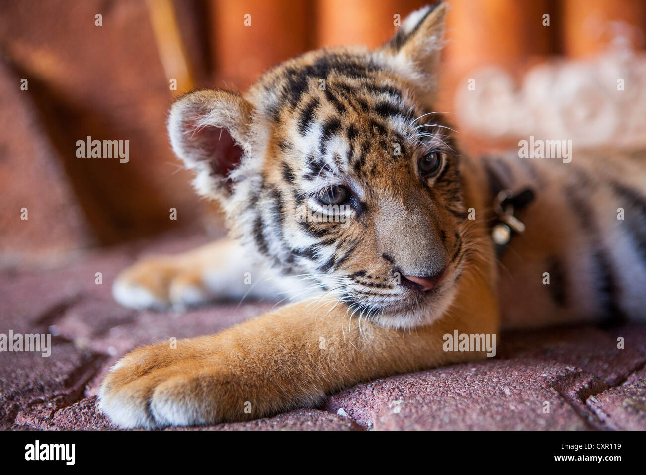 A captive baby tiger in Playa Del Carmen, Quintana Roo, Mexico - Stock Image