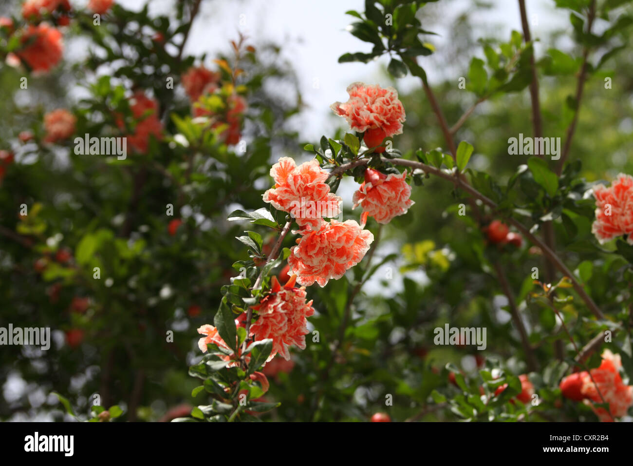 Rare Double White And Orange Pomegranate Flowers Growing Halfeti