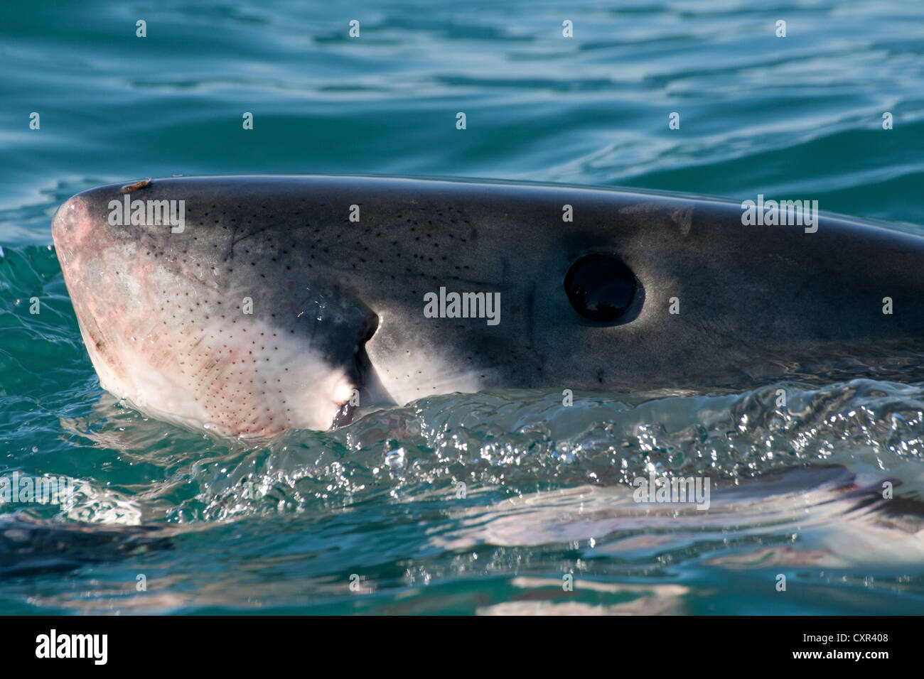 Great White Shark spy-hopping to get a better view what is above the water - Stock Image
