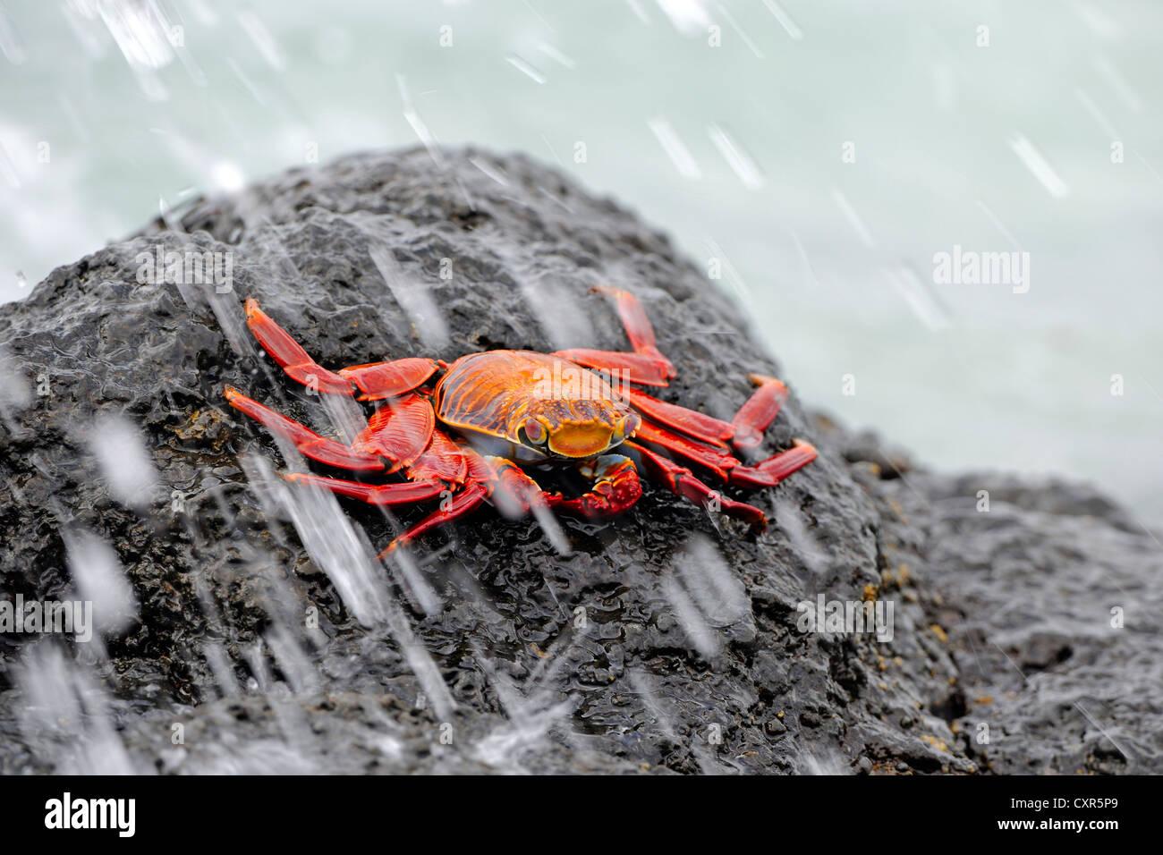 Red rock crab (Grapsus grapsus), in the surf, Santa Cruz Island, Galápagos Islands, Unesco World Heritage Site, - Stock Image