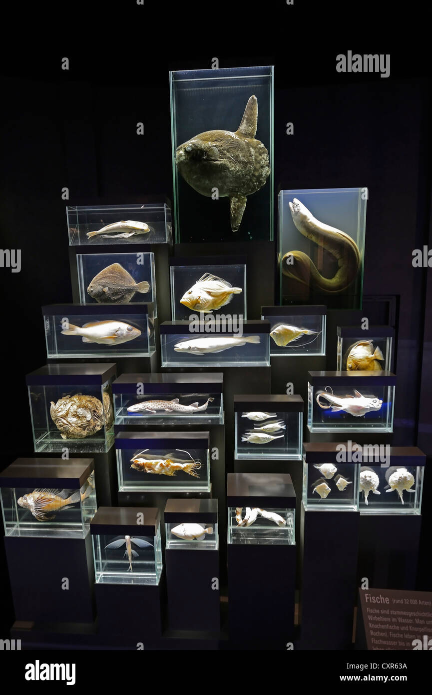 Display case with preserved specimen at the Ozeaneum, Hanseatic City of Stralsund, Mecklenburg-Western Pomerania, - Stock Image