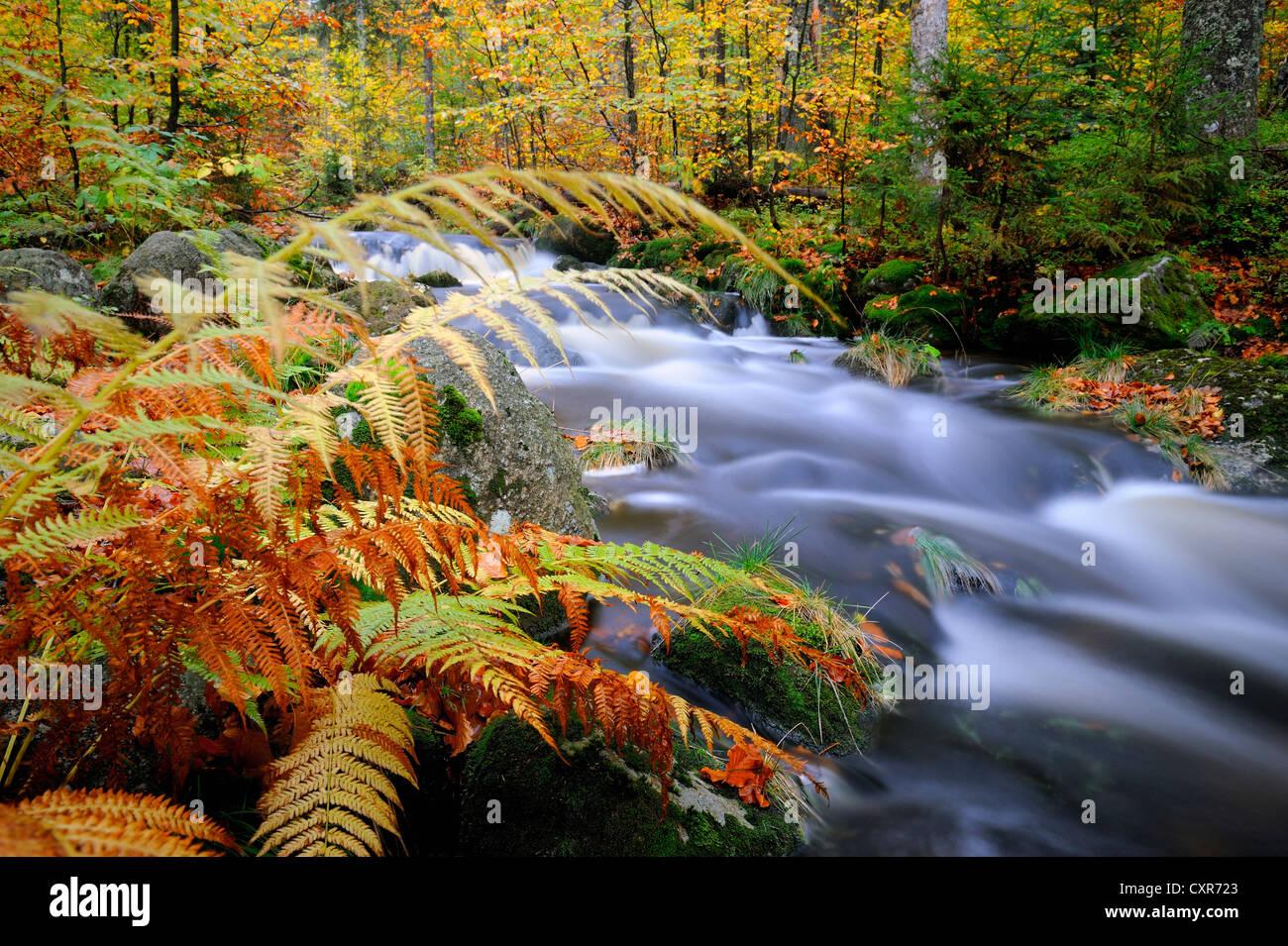 Mountain stream with autumn leaves, Bavarian Forest, Grafenau, Bavaria, Germany, Europe - Stock Image