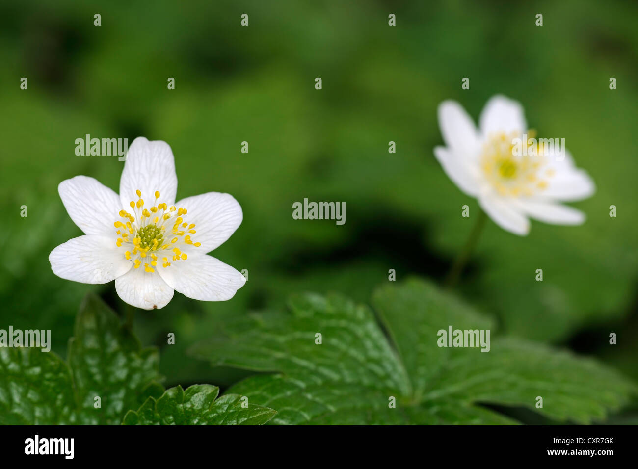 Wood Anemone, Thimbleweed or Smell Fox (Anemone nemorosa), Berlin, Germany, Europe - Stock Image