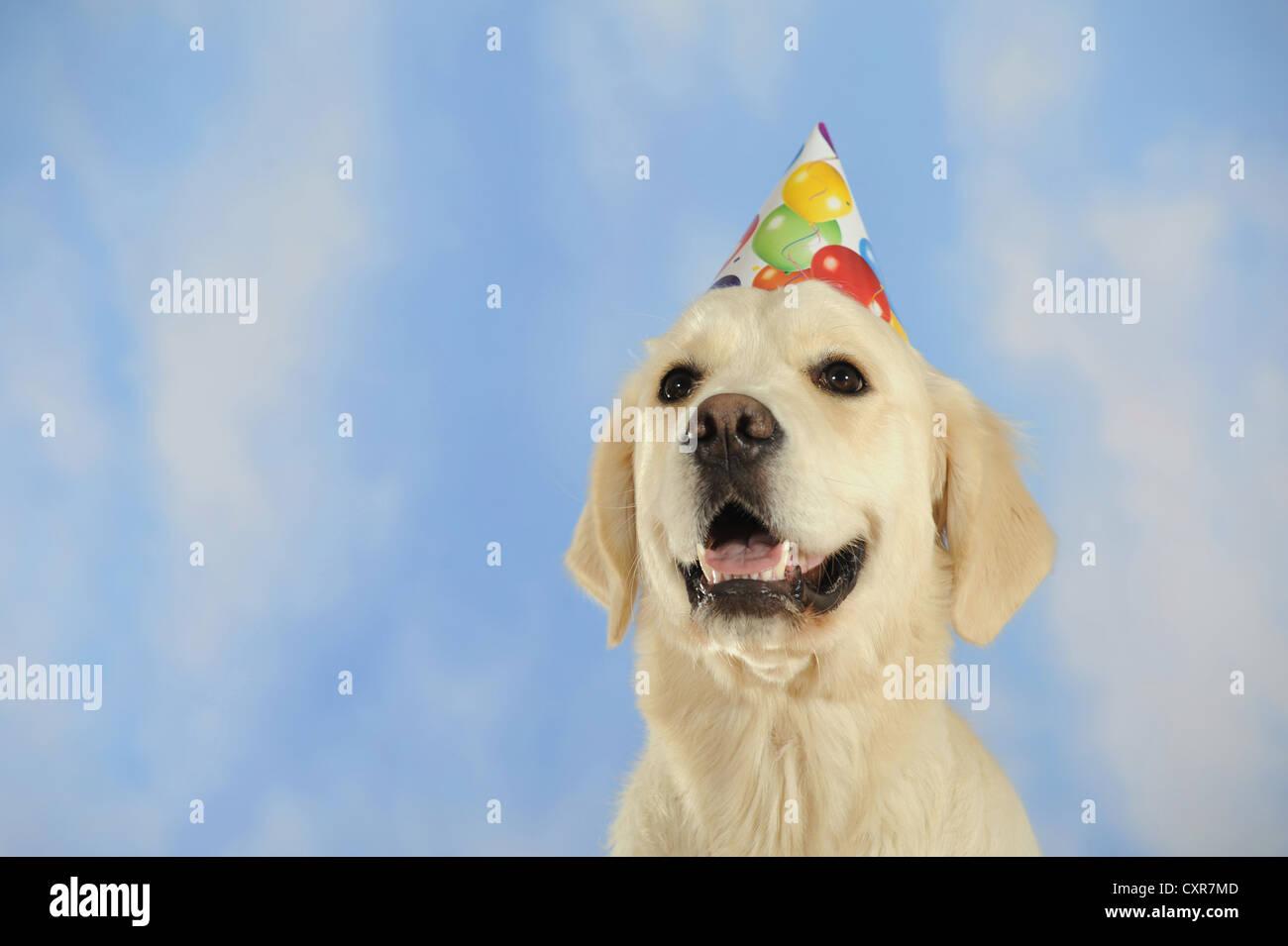Golden Retriever Dog Party Hat Stock Photos Golden Retriever Dog