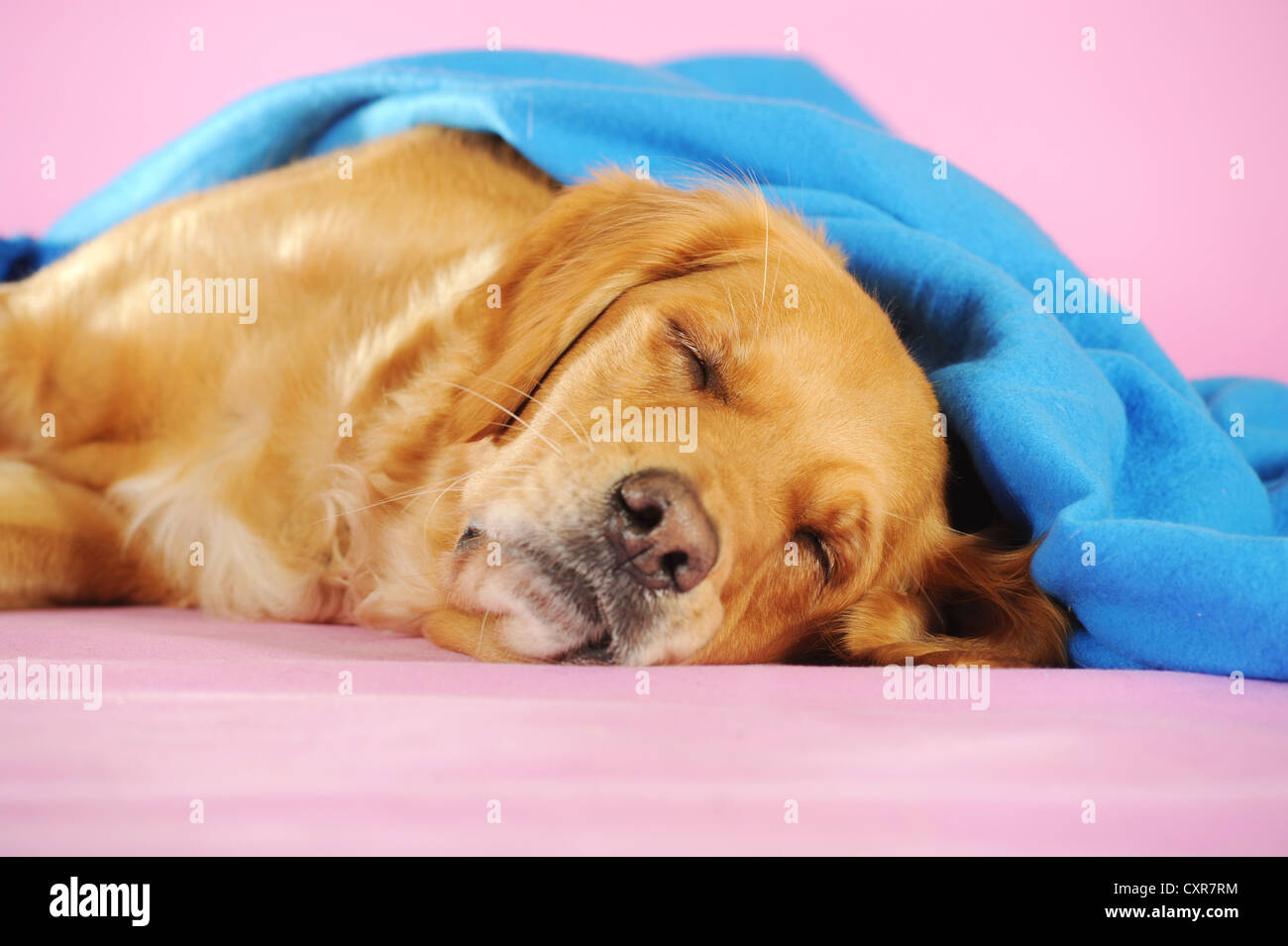 Golden Retriever sleeping underneath a blue blanket - Stock Image