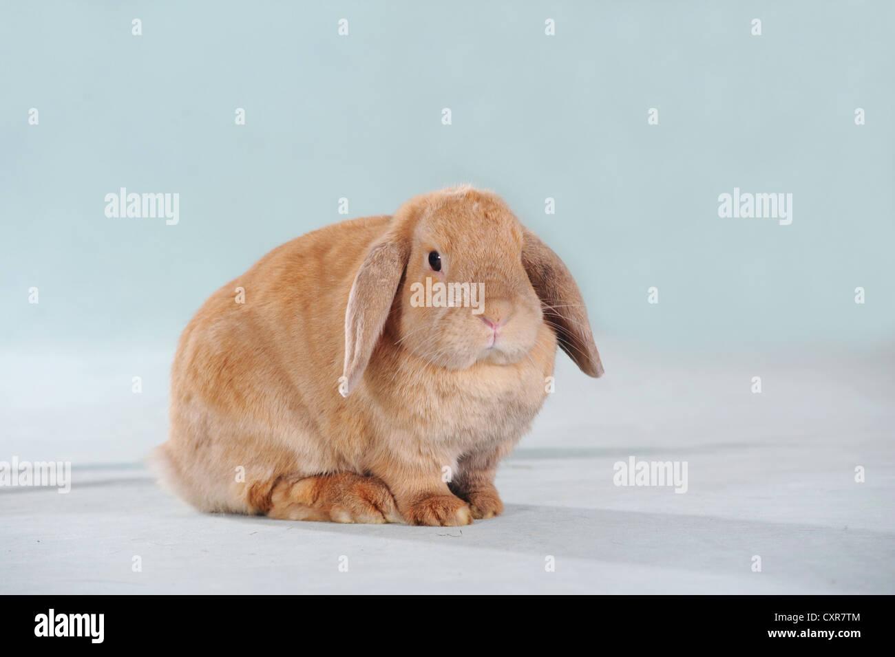 Brown long eared rabbit - Stock Image