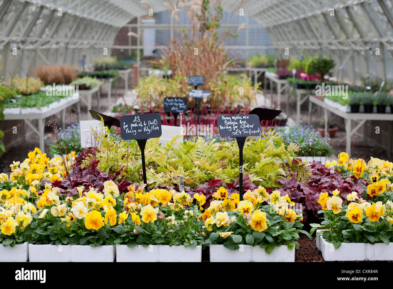 Pansies in trays for sale in a garden center nursery - Stock Image
