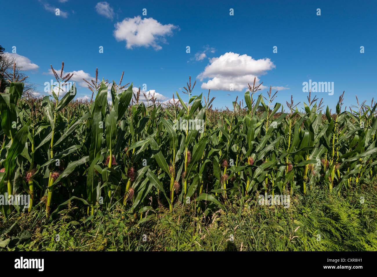 SWEET CORN/MAIZE GROWING IN  FIELD AGAINST BLUE SKY WITH CLOUDS IN GLOUCESTERSHIRE ENGLAND UK FIELD IS ON OFFA'S - Stock Image