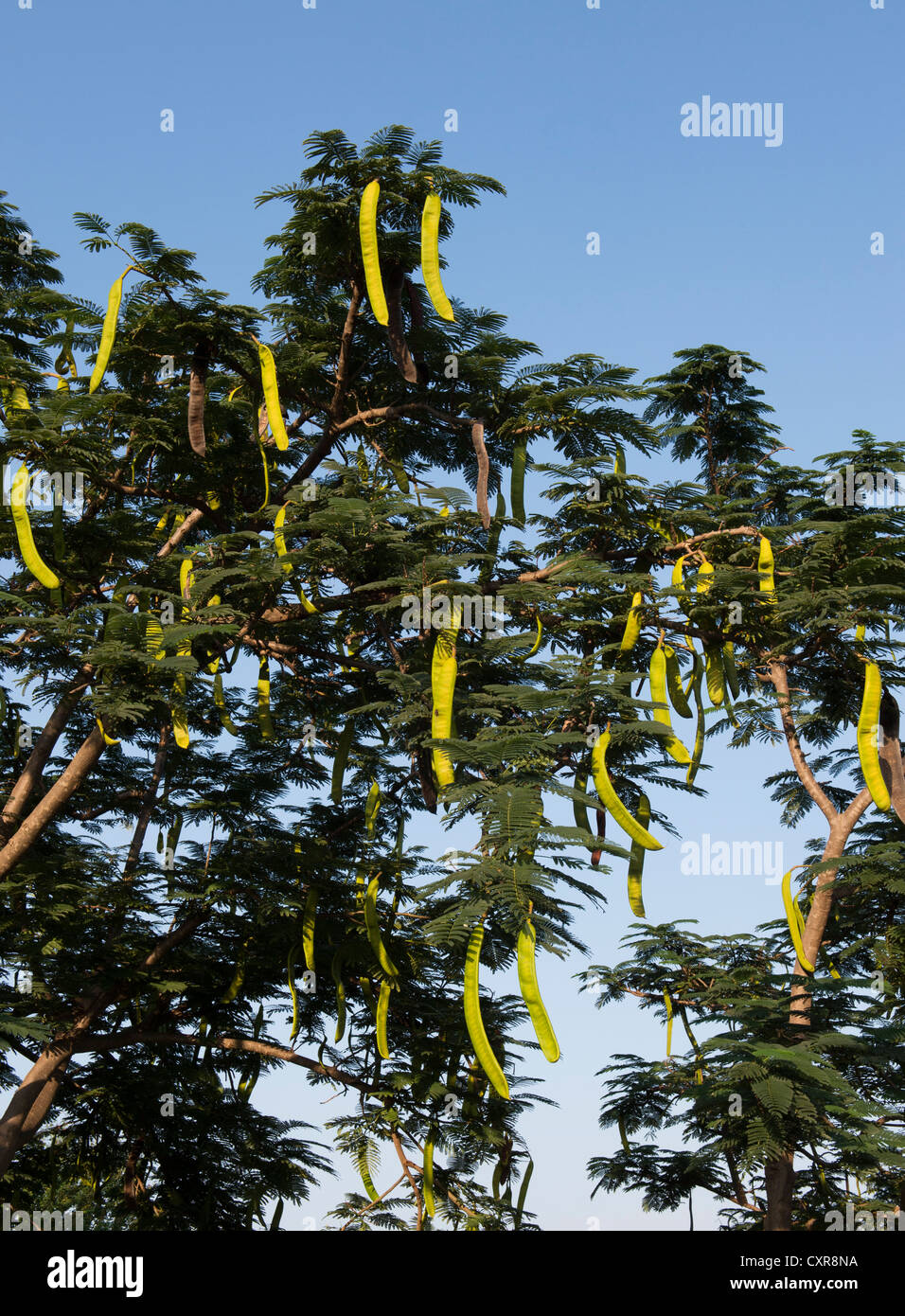 Delonix regia. Poinciana Tree with long seed pods in the indian countryside - Stock Image