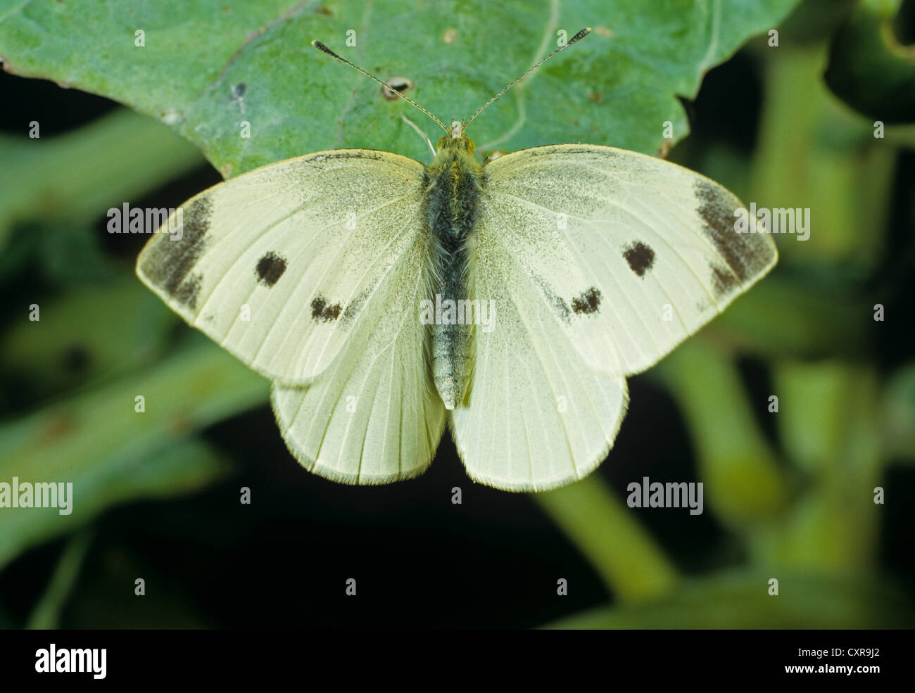 Large white butterfly, Pieris brassicae, settled wings open on a cabbage leaf Stock Photo