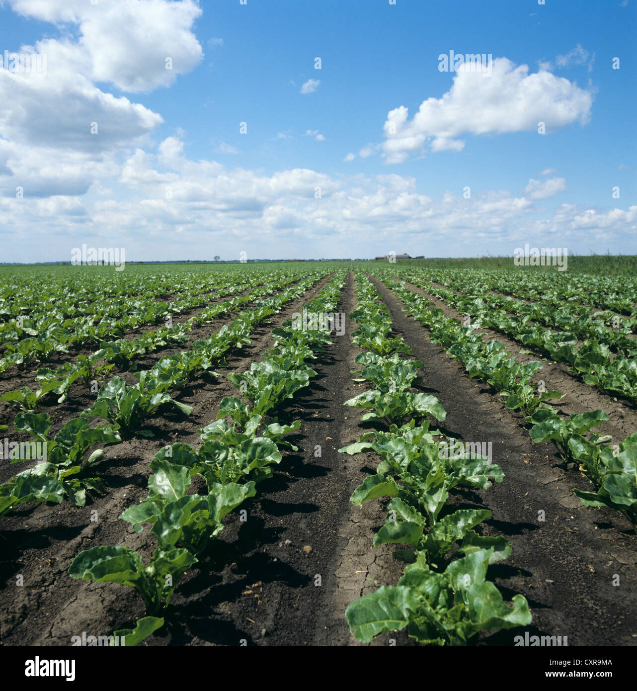 Low angle view of young sugar beet crop on fine early summer day - Stock Image