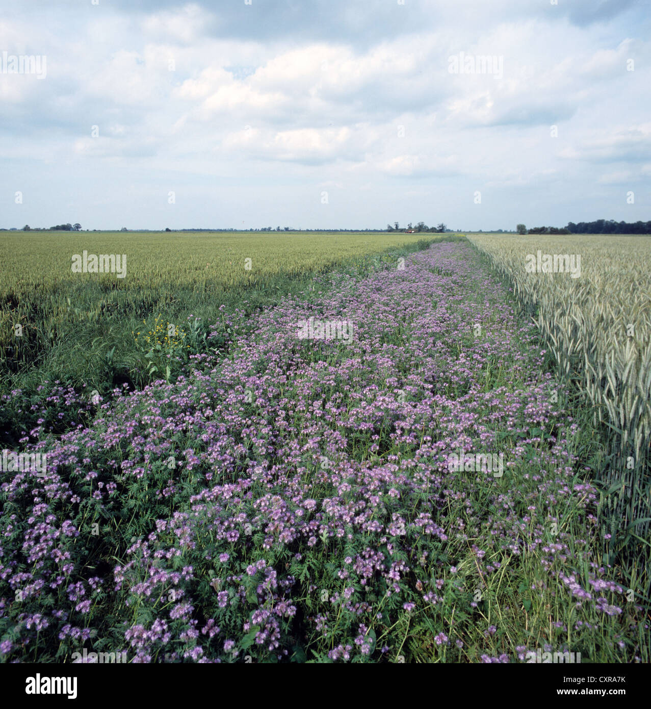 Phacelia in flower in field conservervation bank between two cereal crops. - Stock Image