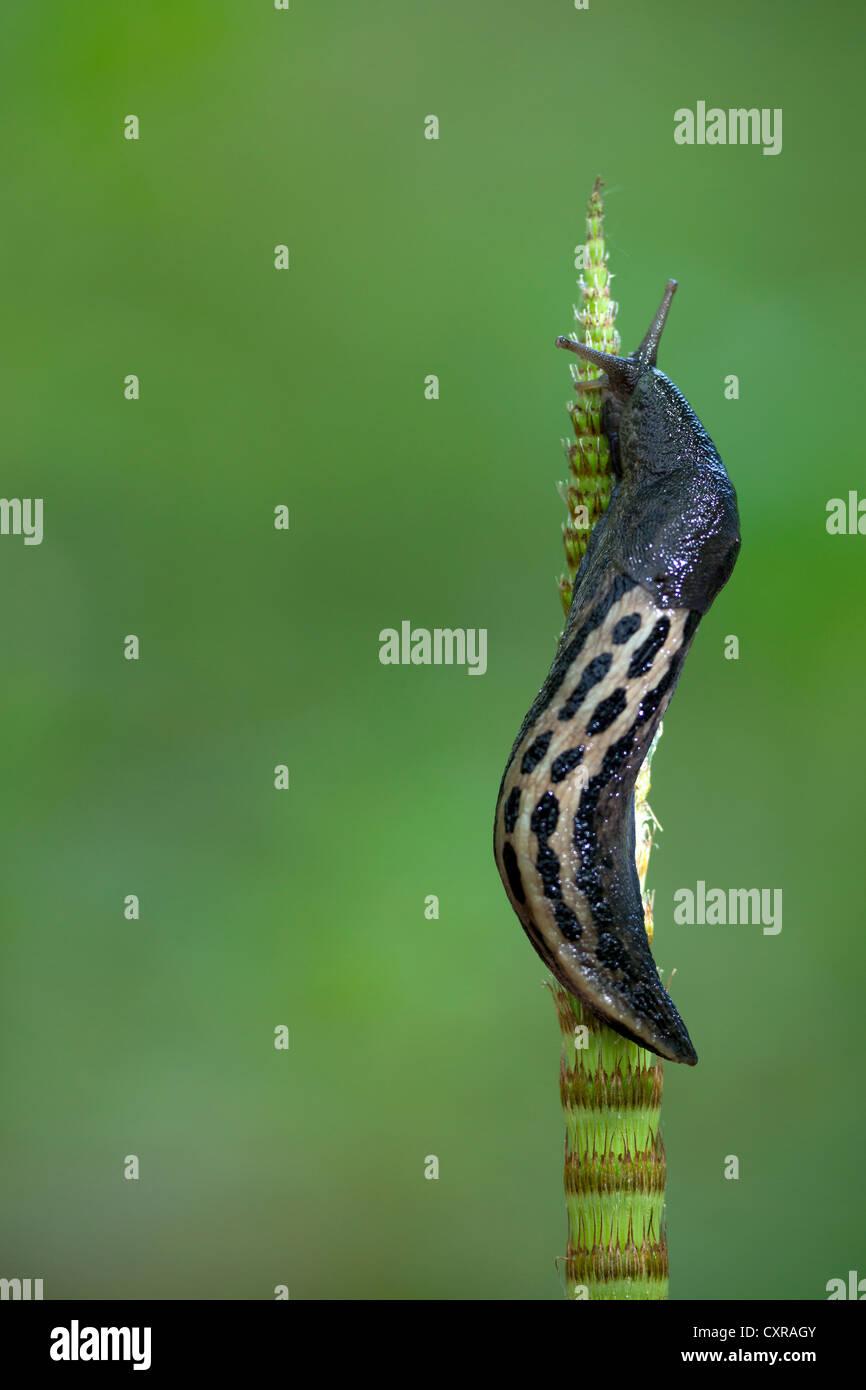 Great grey slug, leopard slug (Limax maximus) sitting on snake grass, near Mindelsee, Baden-Wuerttemberg, Germany, Europe Stock Photo