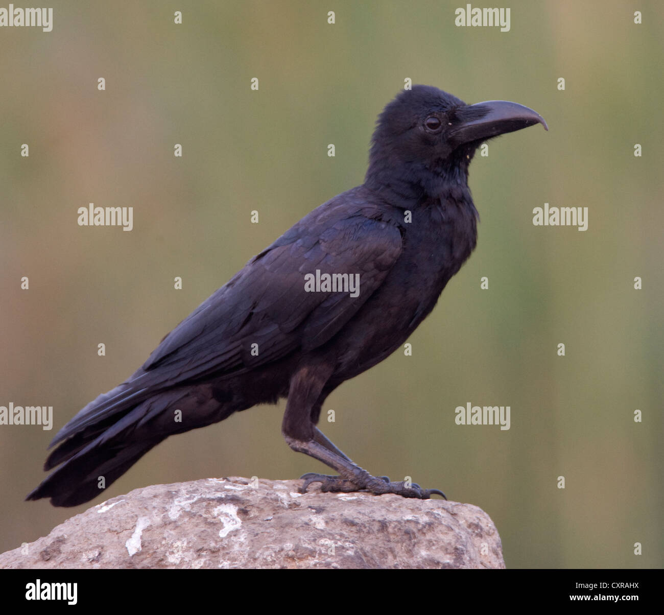 The Jungle Crow perched on a stone at the now ravaged Uran , a haven for migratory birds in Navi Mumbai , near Bombay - Stock Image