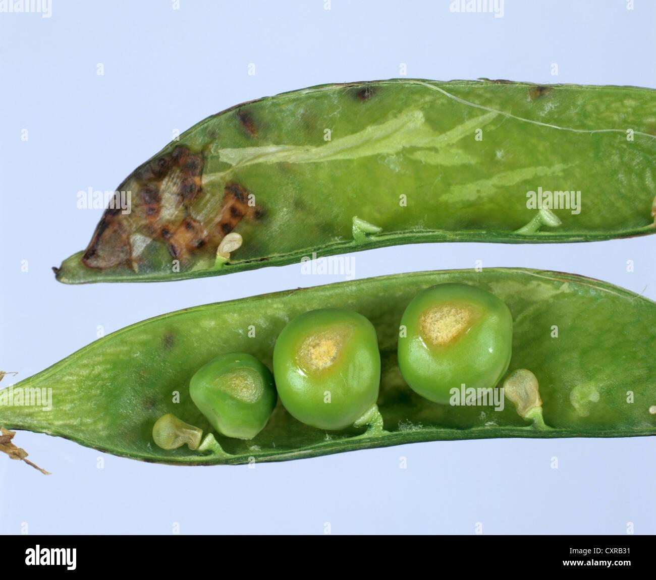 Marsh spot, manganese deficiency symptoms on peas in open pod - Stock Image