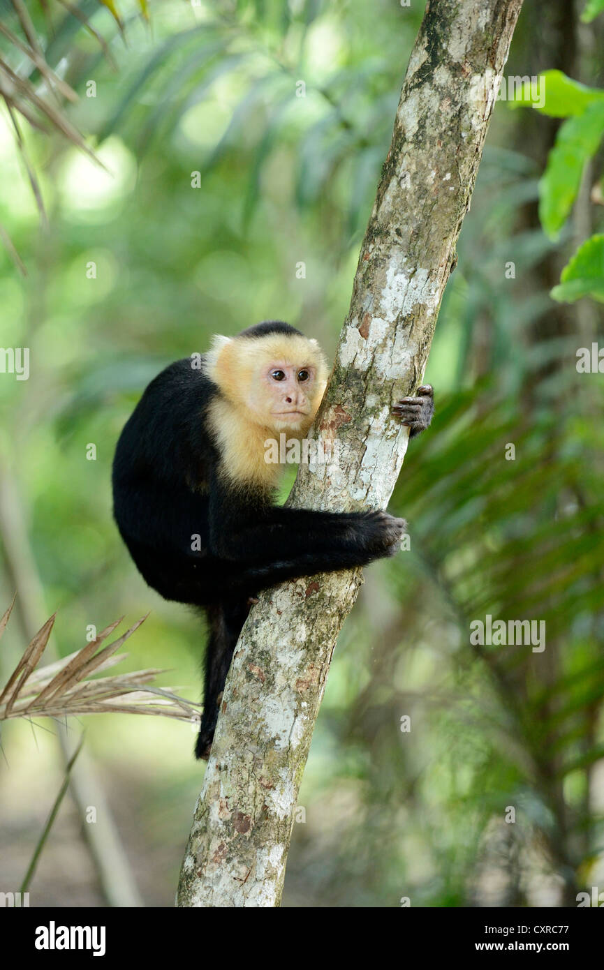 White headed or White faced capuchin (Cebus capucinus), clinging to a branch, Manuel Antonio National Park - Stock Image