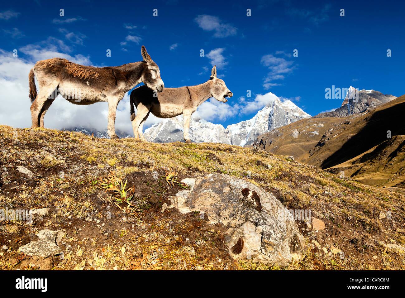 Donkey (Asinus), bleating, Cordillera Huayhuash mountain range, Andes, Peru, South America - Stock Image