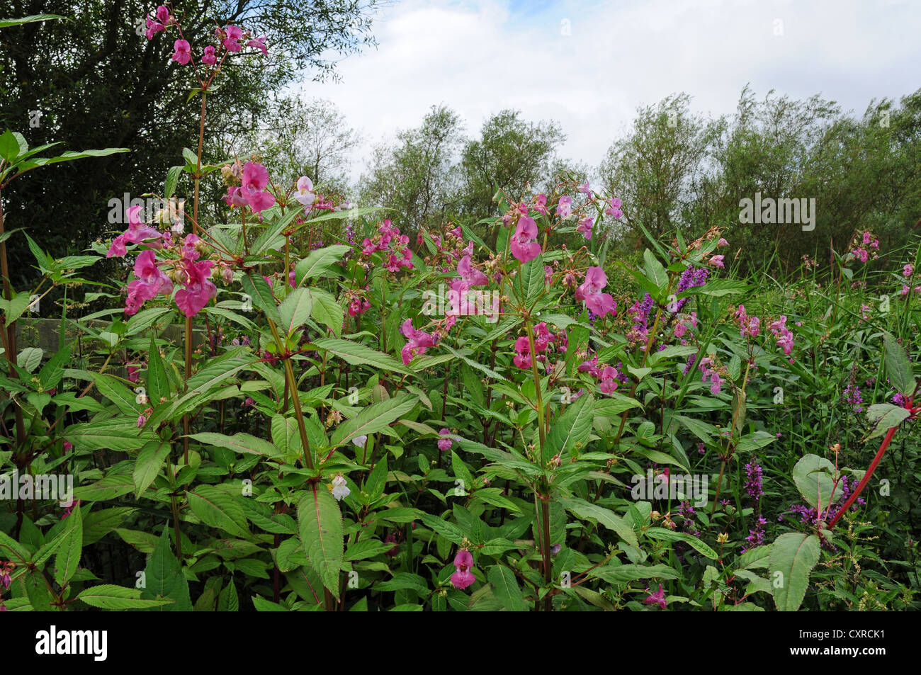 Himalayan balsam Impatiens glandulifera  growing on the banks of the River Arun. - Stock Image