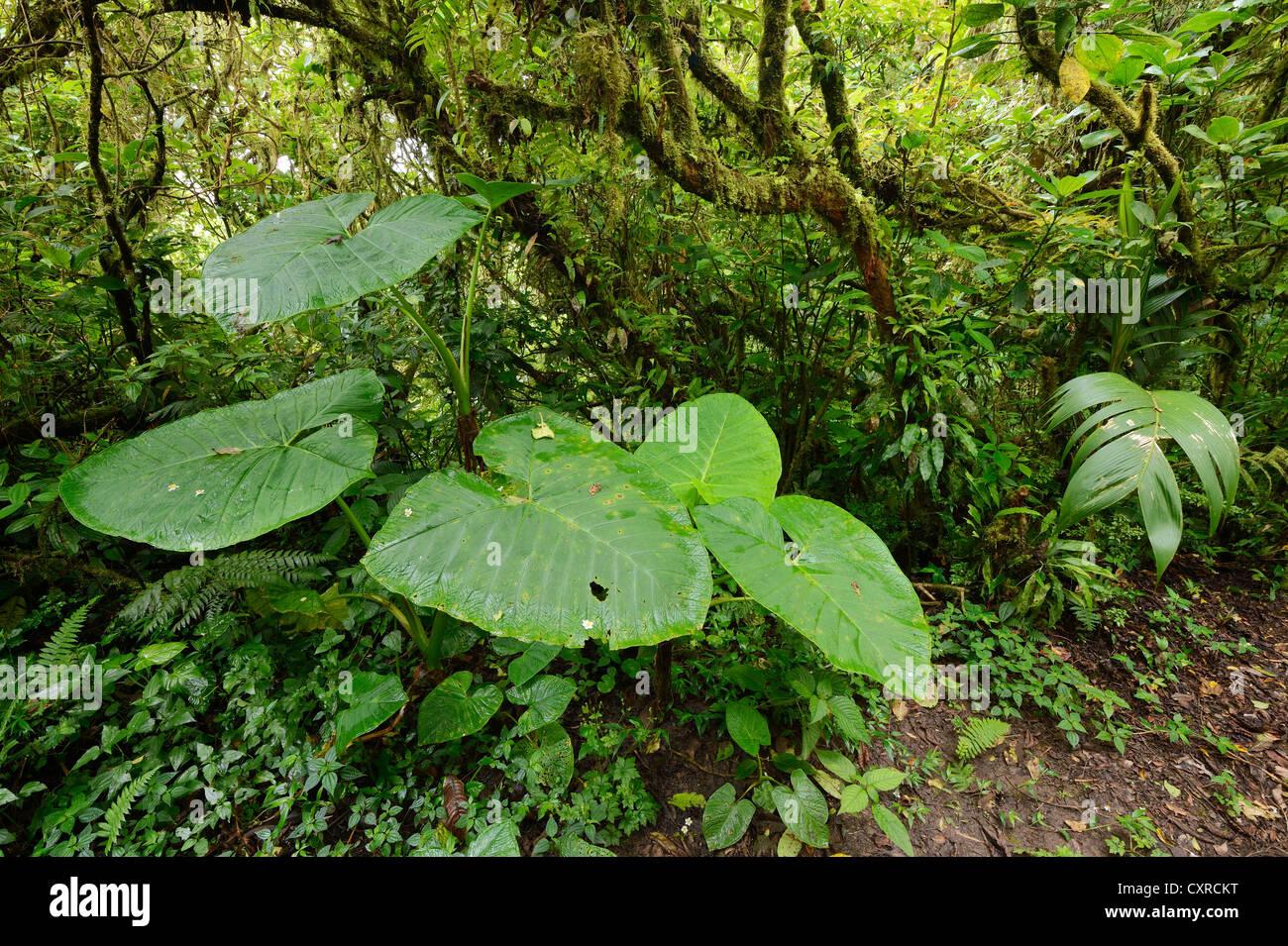 Shaving brush plant (Haemanthus albiflos) in Monteverde, Costa Rica, Central America - Stock Image