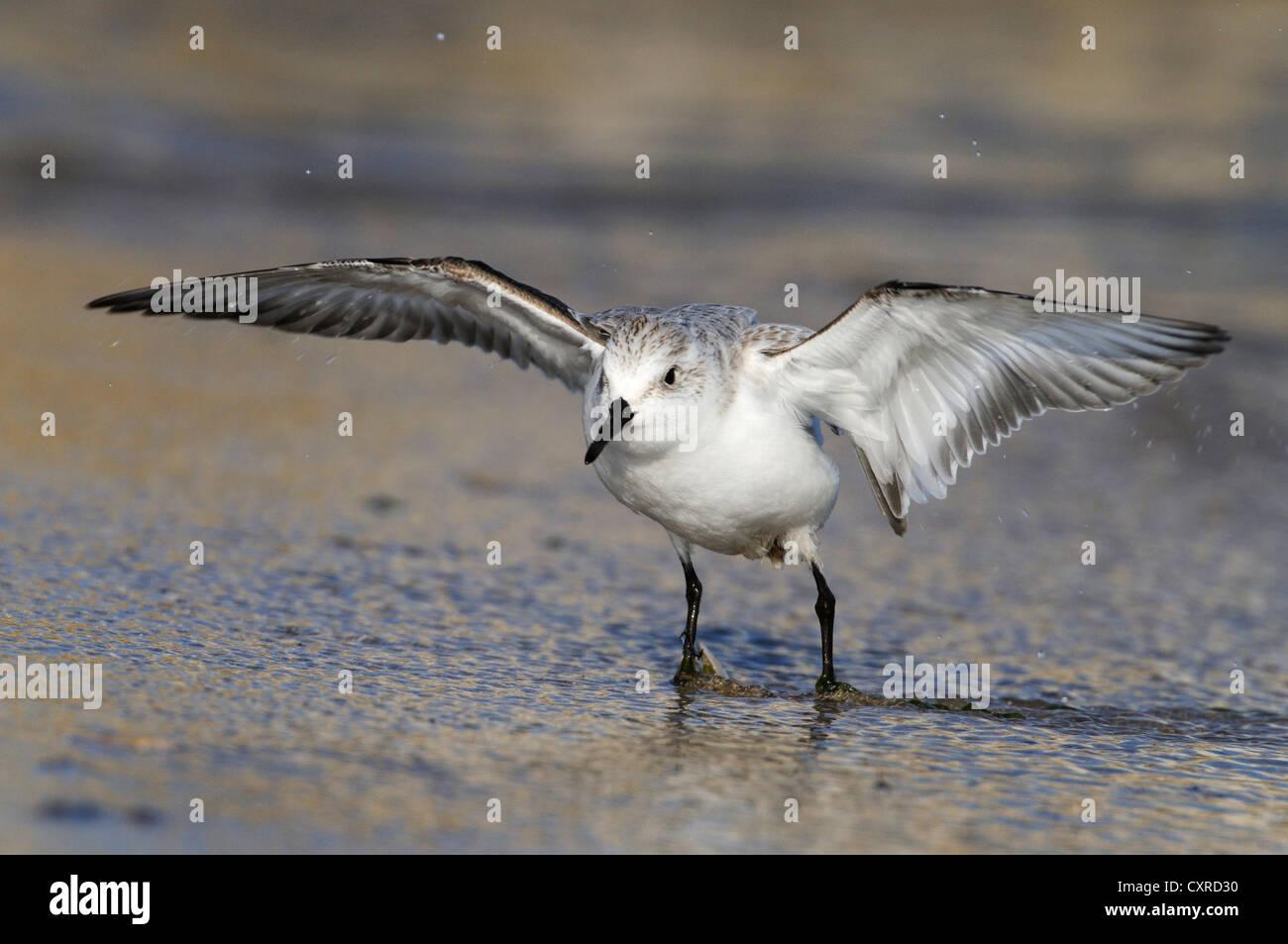 Sanderling (Calidris alba), with open wings, Black Sea coast, Bulgaria, Europe - Stock Image
