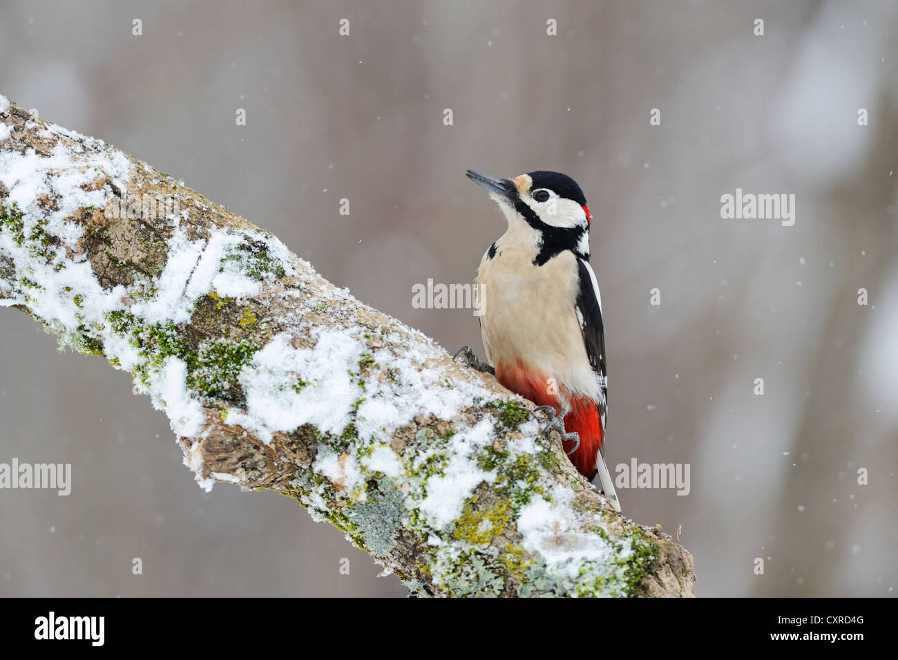 Great Spotted Woodpecker (Dendrocopos major) perched on a branch, Bulgaria, Europe - Stock Image