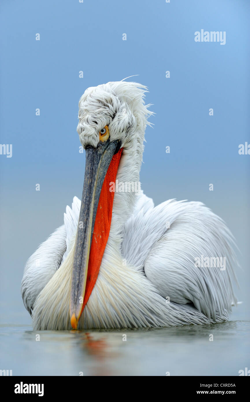 Dalmatian Pelican (Pelecanus crispus) in breeding plumage, Lake Kerkini, Greece, Europe Stock Photo