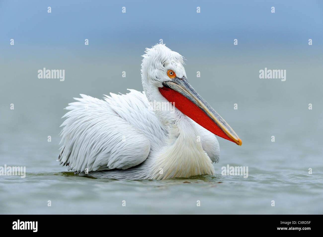 Dalmatian Pelican (Pelecanus crispus), Lake Kerkini, Greece, Europe - Stock Image