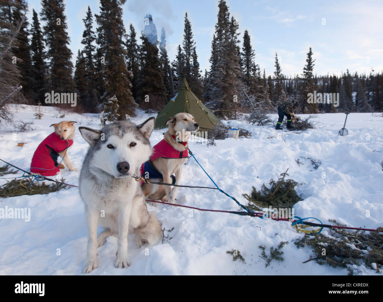 Sled dogs, Siberian Huskies, resting in snow, stake out cable, camp, teepee behind, Yukon Territory, Canada - Stock Image